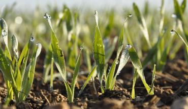 Jeunes plantes de blé tendre