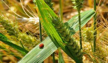 Les céréales dans l'alimentation biologique
