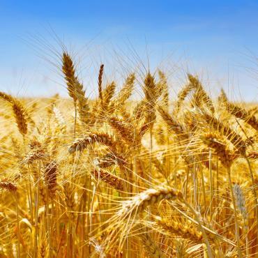 Céréale blé dur