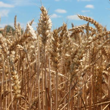 Céréale froment, blé tendre