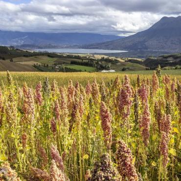 Céréale quinoa