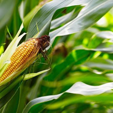 Céréale maïs